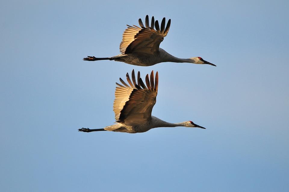sandhill-cranes-949414_960_720